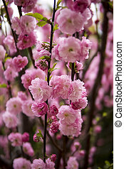 pink flowers of prunus triloba growing on a tree during spring season
