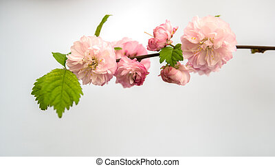 Prunus triloba isolated over white