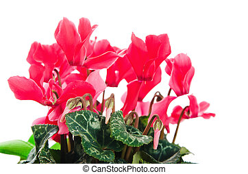 Detail of red and white cyclamen isolated on white background