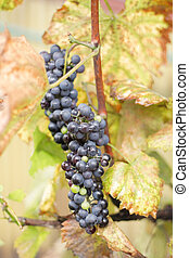 red grapes in the autumn