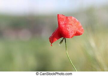 detail of red poppy