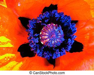 detail of red poppy flower