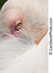 Detail of resting pink flamingo