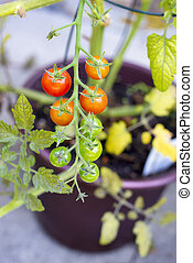 Detail of ripe and green cherry tomato vine plant