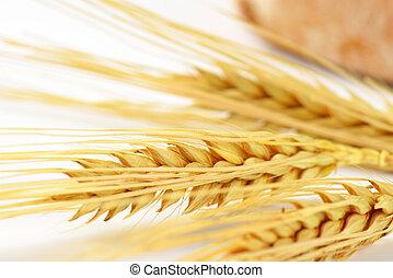 ripe grain ears