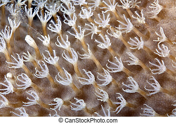 Detail of slimy leather coral in the Red Sea. - Detail of...