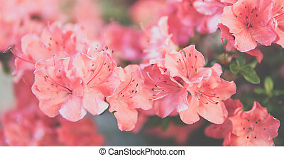 small Rhododendron pink flowers