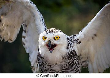 Detail of Snowy Owl with Beak Open on Dark Background