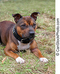 Detail of Staffordshire Bull Terrier puppy