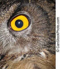 Detail of the beautiful eye of a Spanish eagle owl