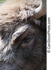Detail of the eye of european bison