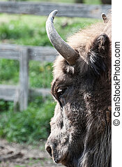 Detail of the head of european bison
