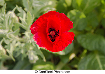detail of the red poppy floret in the spring