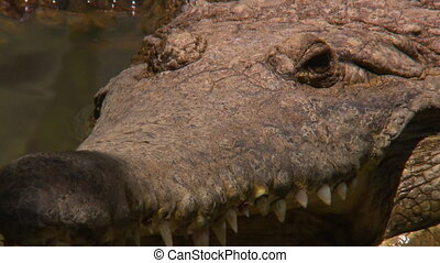 Close up showing the snout, eyes, head, and teeth of a freshwater crocodile