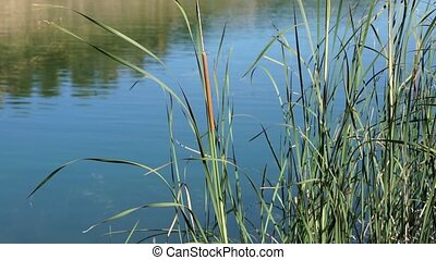 detail of The tall Typha Latifolia grass on the field. Herbaceous plant before a lake, blowing by a strong wind