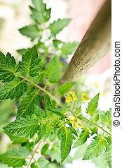 detail of tomato plant