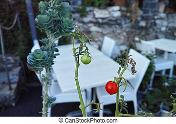 detail of tomatoes plant