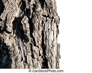 Detail of trunk of pine tree