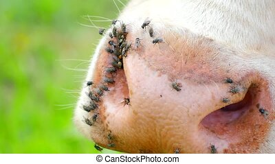 Detail of white cow muzzle. Annoying flies sit or run on the...