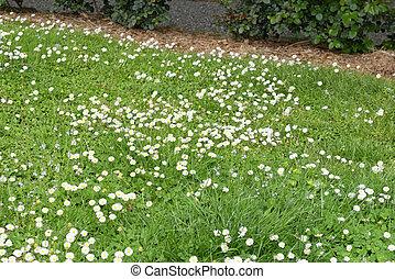 white daisy in a field