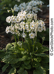 detail of white primula flowers