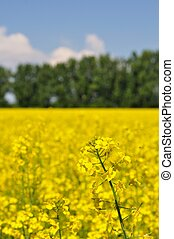 Detail of yellow canola