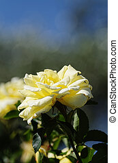 yellow rose in a garden