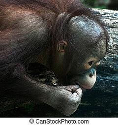 Detail of young orangutan (Pongo pygmaeus)