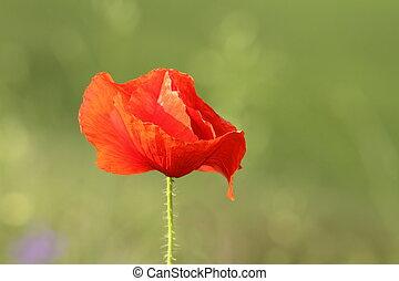 detail on wild red poppy