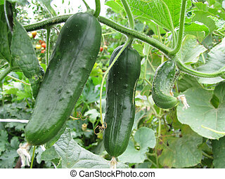 Detail photo of growing gherkin cucumber