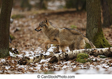 Detail portrait of Gray wolf in the forest. Wildlife scene from north of Europe. Canis lupus