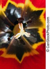detail, von, rote tulpe