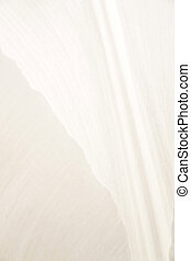 Detail, White Tulip - Photo of a tulip bloom shot up very...