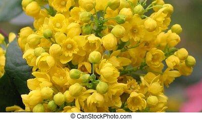 Detail yellow flowering shrubs mahonia - Mahonia aquifolium....