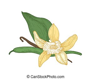 Detailed botanical drawing of blooming vanilla flower, leaves and pods isolated on white background. Aromatic spice or condiment. Realistic vector illustration hand drawn in elegant vintage style.