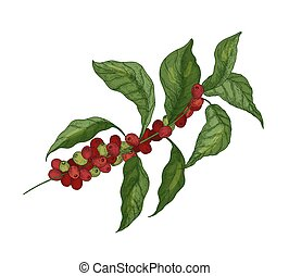 Detailed botanical drawing of coffea or coffee tree branches...