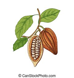 Detailed botanical drawing of whole and cut ripe pods or fruits of cocoa tree with beans, branches and leaves isolated on white background. Natural vector illustration hand drawn in vintage style.