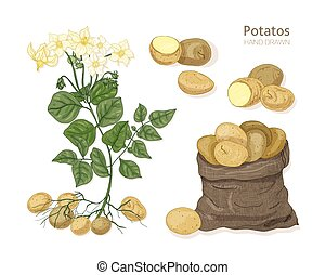 Detailed botanical drawings of potato plant with flowers, tubers and vegetables in bag. Edible tuberous crop isolated on white background. Colorful hand drawn vector illustration in vintage style.