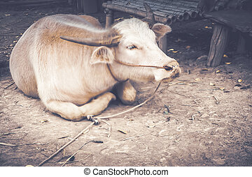 Detailed close-up of a white buffalo