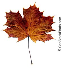 Detailed Fall Maple Leaf - Highly detailed Autumn Maple...
