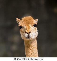 detailed front view guanaco (Lama guanicoe) portrait in ...