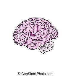 Detailed Human Brain ,vector