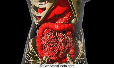detailed human digestive system anatomy