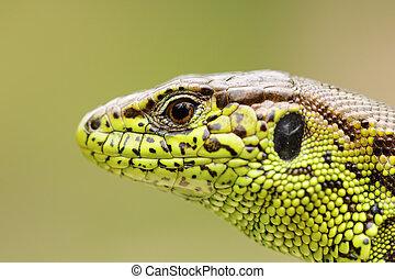 detailed portrait of sand lizard, macro shot of a male head...