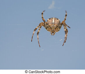 Detailed spider in the net