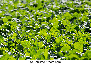 detailed view of many green leafs of sugar beet field