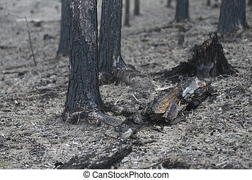 burnt forest after fire