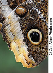 Details Of A Giant Owl Butterfly