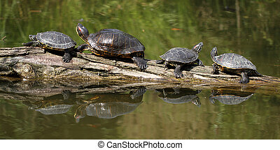 Red Eared Slider - details of a Red Eared Slider Turtle