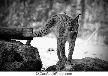 Eurasian lynx - details of an Eurasian lynx in captivity